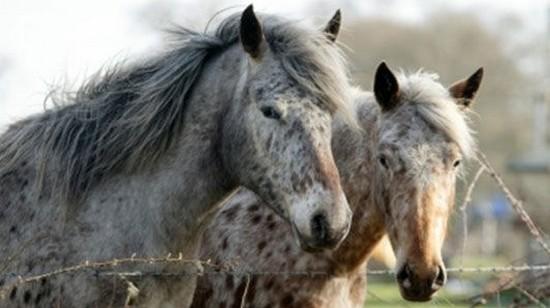 chevaux irlande.jpg